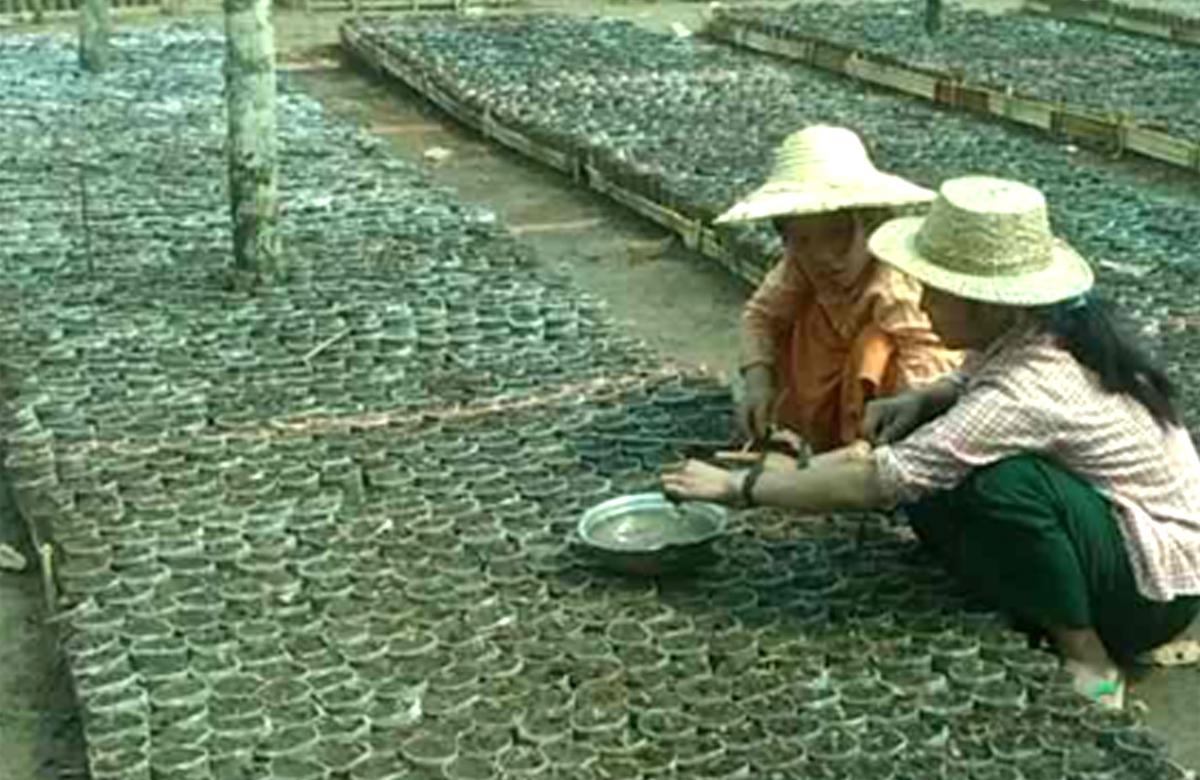 木材造林(Dakaung